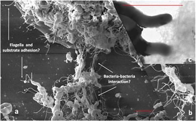 Frontiers | Potential Role of Biofilm Formation in the