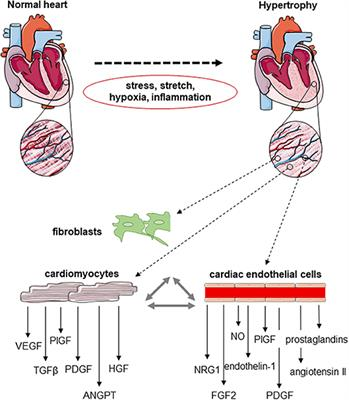 Frontiers | Angiogenic Endothelial Cell Signaling in Cardiac