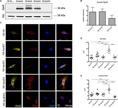 Frontiers | Phagocytosis of Apoptotic Cells Is Specifically