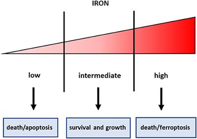 Frontiers | Iron Metabolism in Liver Cancer Stem Cells