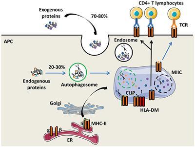 Frontiers | HLA-Class II Artificial Antigen Presenting Cells