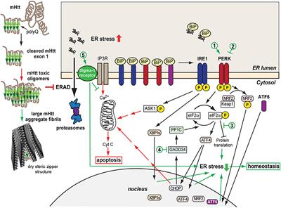 frontiers | protein misfolding and er stress in huntington's disease |  molecular biosciences