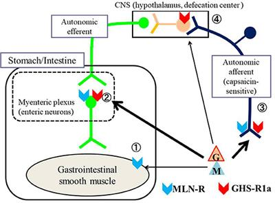 Frontiers | Regulation of Gastrointestinal Motility by