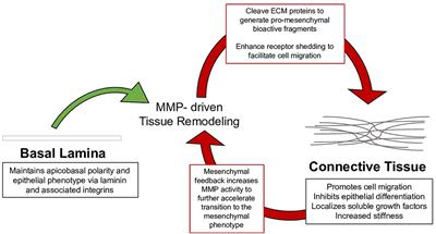 Frontiers in Cell and Developmental Biology   Cell Adhesion and