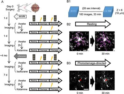Frontiers | In vivo Two-Photon Imaging of Anesthesia-Specific