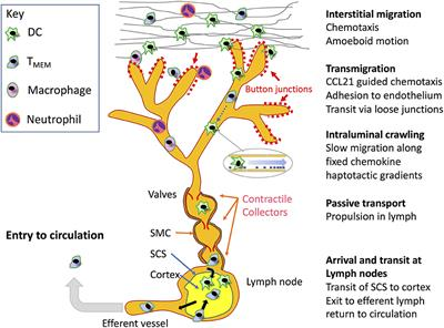 Frontiers | Leucocyte Trafficking via the Lymphatic Vasculature