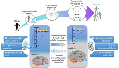 Frontiers   Metabolism in Human Mesenchymal Stromal Cells: A