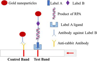 Frontiers | Rapid and Sensitive Recombinase Polymerase