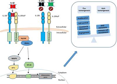 Frontiers   IL-1 Family Members in Cancer
