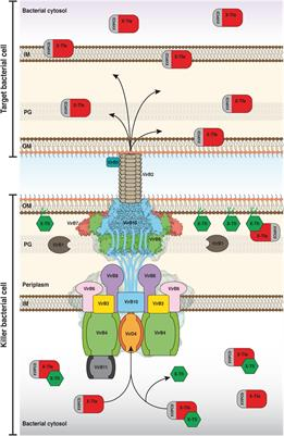 Frontiers | Bacteria-Killing Type IV Secretion Systems | Microbiology