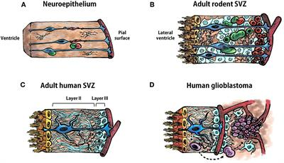 Frontiers   Neural Stem Cells of the Subventricular Zone as