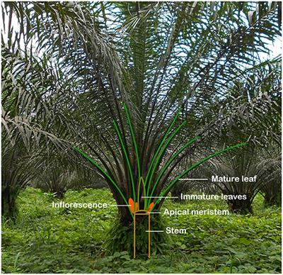 Frontiers | Tissue Culture of Oil Palm: Finding the Balance