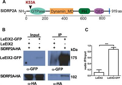 Frontiers   Tomato Dynamin Related Protein 2A Associates