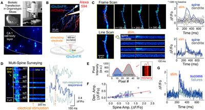 Frontiers in Synaptic Neuroscience