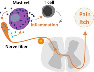 Frontiers | Neuroinflammation, Pain and